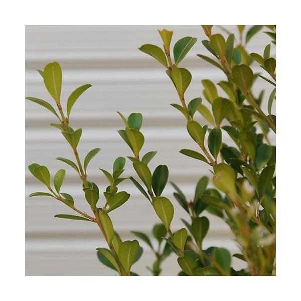 庭木:ボックスウッド y-bonsai 02