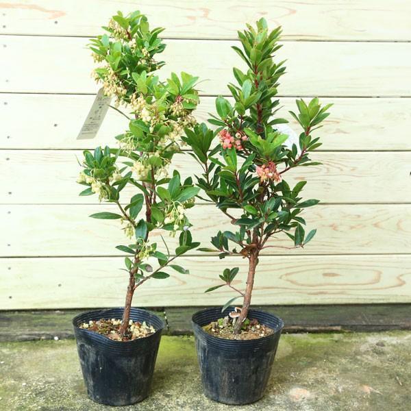 庭木苗:イチゴの木(ストロベリーツリー) *4号ポット赤花or白花