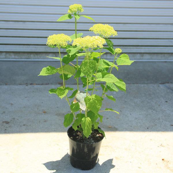 庭木・鉢花:白アジサイ(アナベル)*良品 プラスチック鉢 ※お花終了 剪定済みです|y-bonsai|02