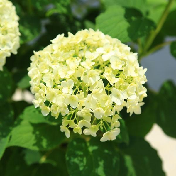 庭木・鉢花:白アジサイ(アナベル)*良品 プラスチック鉢 ※お花終了 剪定済みです|y-bonsai|03