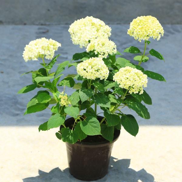 庭木・鉢花:白アジサイ(アナベル)*良品 プラスチック鉢 ※お花終了 剪定済みです|y-bonsai|04