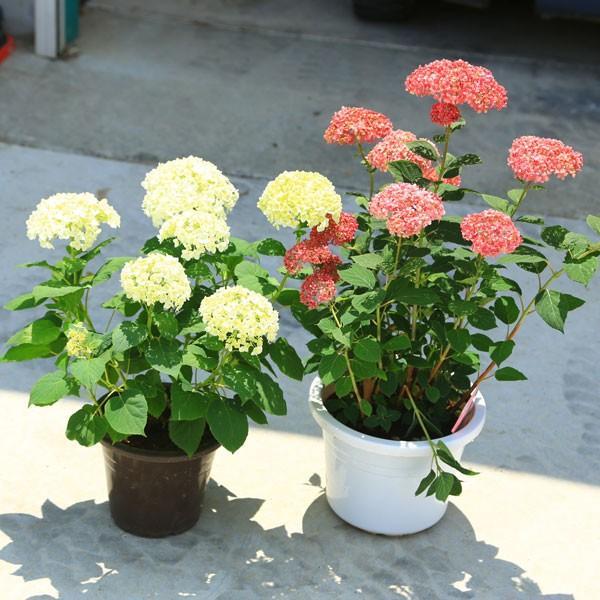 庭木・鉢花:白アジサイ(アナベル)*良品 プラスチック鉢 ※お花終了 剪定済みです|y-bonsai|05