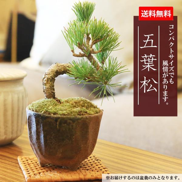 ミニ盆栽:五葉松(瀬戸焼小鉢)*祝い ギフト gift 誕生日祝 御祝 プレゼントにも y-bonsai