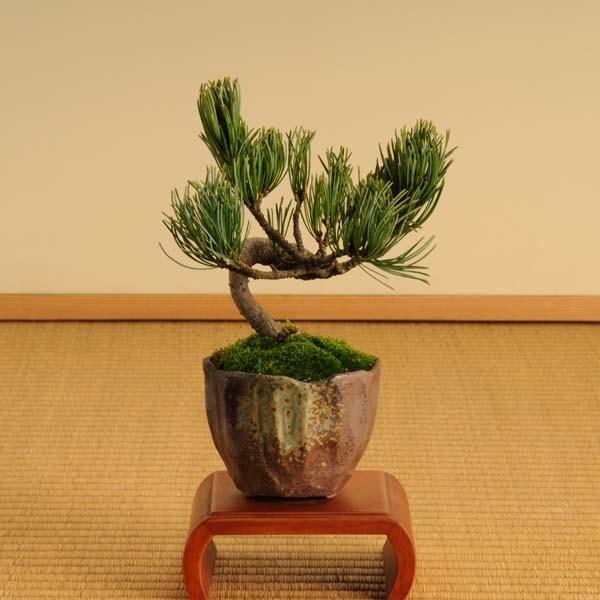 ミニ盆栽:五葉松(瀬戸焼小鉢)*祝い ギフト gift 誕生日祝 御祝 プレゼントにも y-bonsai 02