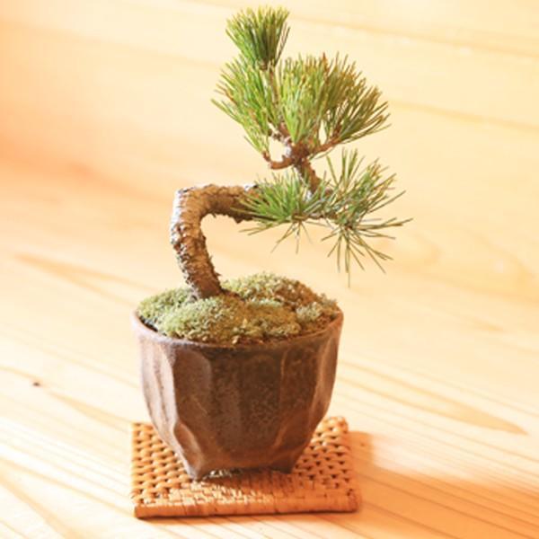 ミニ盆栽:五葉松(瀬戸焼小鉢)*祝い ギフト gift 誕生日祝 御祝 プレゼントにも y-bonsai 03
