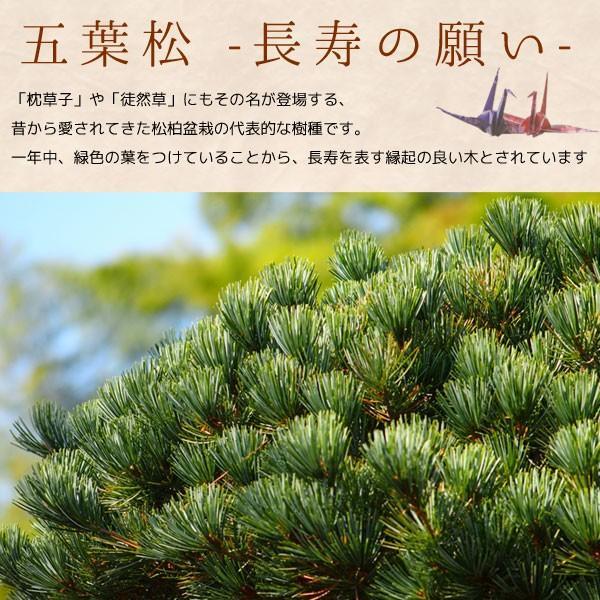 ミニ盆栽:五葉松(瀬戸焼小鉢)*祝い ギフト gift 誕生日祝 御祝 プレゼントにも y-bonsai 04