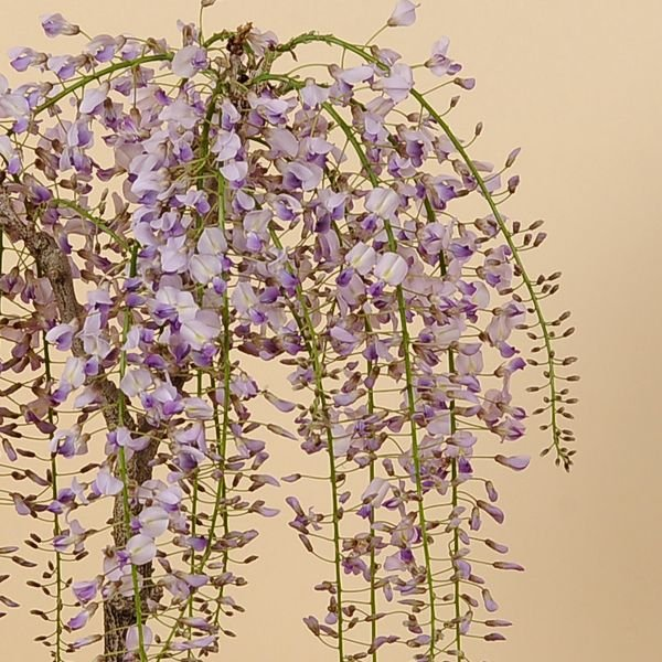 盆栽:一才藤(小・萬古焼深鉢)*<2020年 春 開花予定>|y-bonsai|03