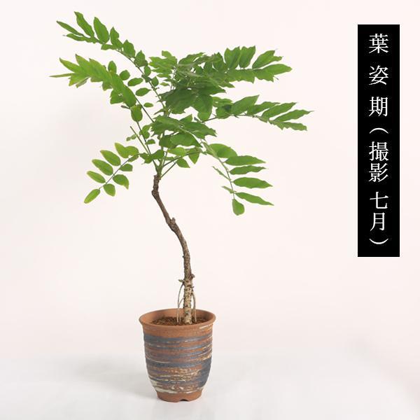 盆栽:一才藤(小・萬古焼深鉢)*<2020年 春 開花予定>|y-bonsai|04