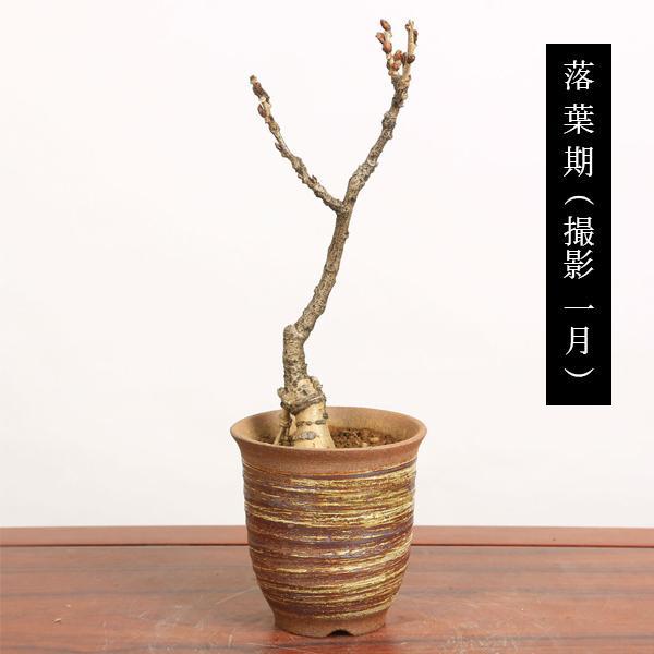 盆栽:一才藤(小・萬古焼深鉢)*<2020年 春 開花予定>|y-bonsai|05