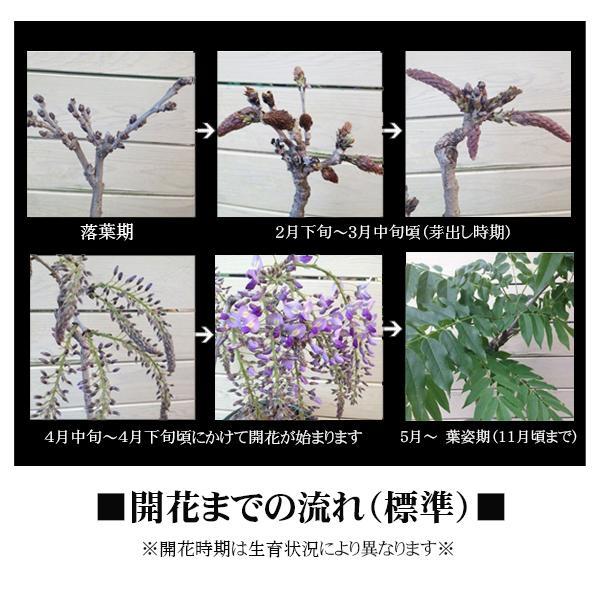 盆栽:一才藤(小・萬古焼深鉢)*<2020年 春 開花予定>|y-bonsai|06