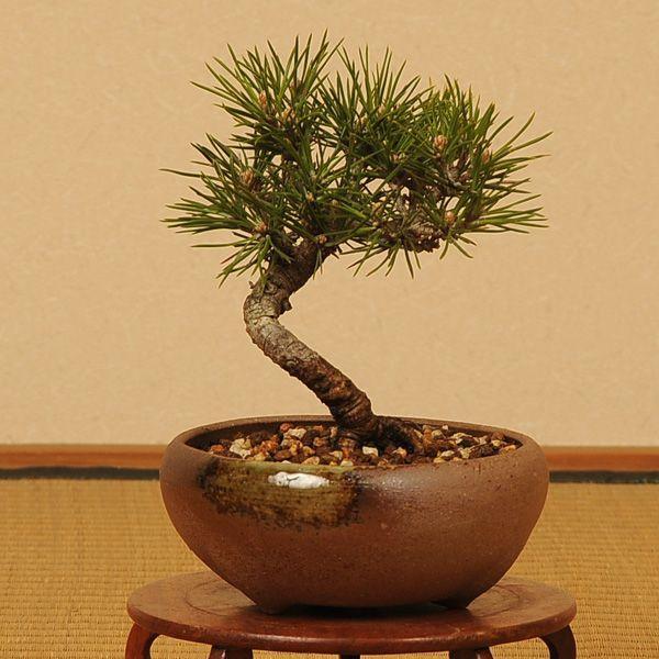 小品盆栽:三河黒松(瀬戸焼小鉢)*|y-bonsai