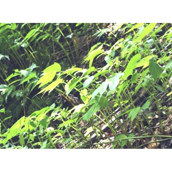 【名水の里・黒部】発送中!正真正銘!天然赤みず・みず・ミズ 葉先切除 2.000g|yakusekien|02