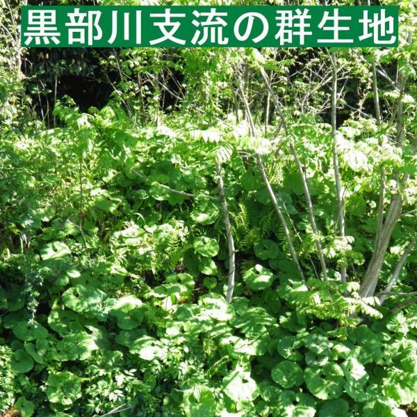【名水の里黒部】天然 山蕗・ふき・フキ・葉切除・発送中! 1,000g yakusekien 07