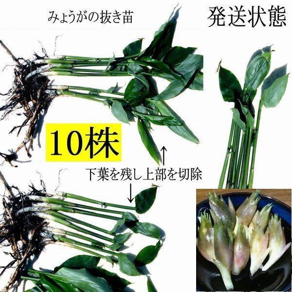 【発送中!】天然茗荷・みょうが・ミョウガの発芽地下茎・大サイズ 栽培♪苗10株 yakusekien