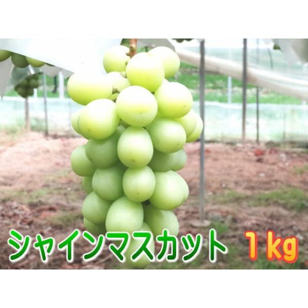 温室栽培シャインマスカット信州長野県産、1kg!7月中旬から発送予定!