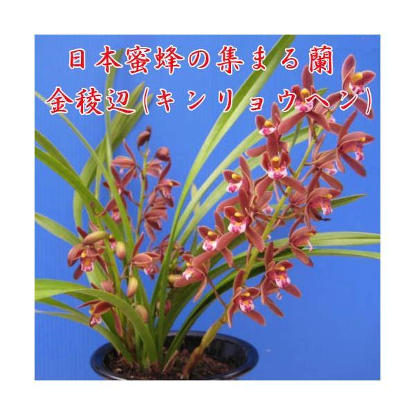 Cym.floribundum 金稜辺(キンリョウヘン) 花芽2本付き 4号鉢、日本蜜蜂(ミツバチ)を呼びます 分蜂 捕獲の画像