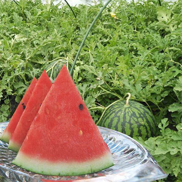 菅藤農園の尾花沢すいか1玉(2L〜3Lサイズ)