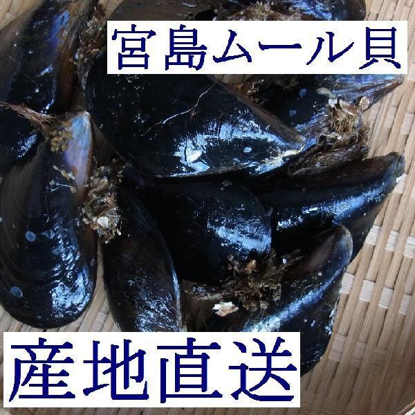 【広島直送】広島湾産「天然 活きムール貝 5kg(宮島ムール)」