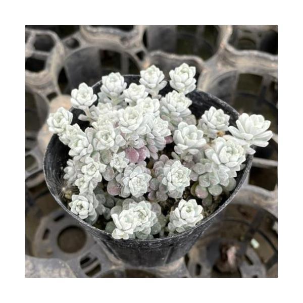 花 苗 山野草:白雪ミセバヤ 7.5cmポット苗