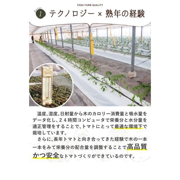 トマト 約1kg  安心安全 農家直販 ハウス桃太郎トマト ヨダファーム 採れたてを発送 送料無料 10月中下旬発送予定予約受付中 yodafarm 14