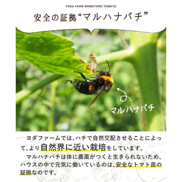 トマト 約2kg  安心安全 農家直販 ハウス桃太郎トマト ヨダファーム 採れたてを発送 10月中下旬発売予定 yodafarm 12