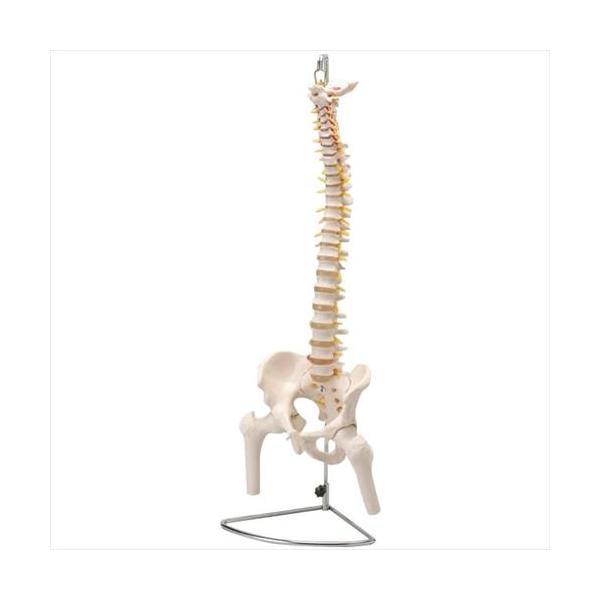 人体模型シリーズ 大腿骨付脊髄帯神経整体模型 (APIs)