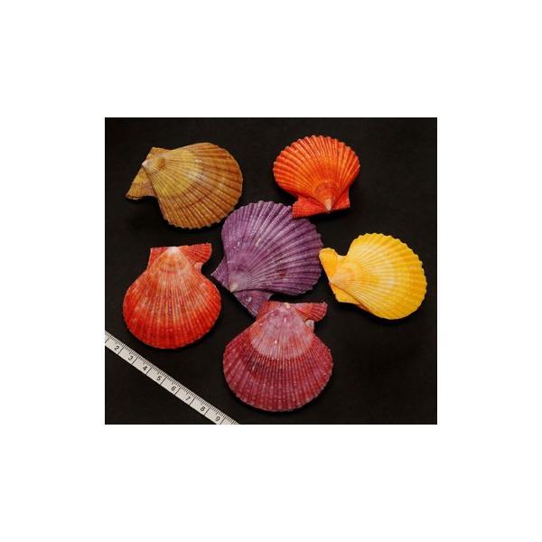 【貝殻パーツ】ヒオオギ(ヒオウギ貝) 緋扇貝 2枚合わせ接着加工済 5個セット 5-8cmカラーミックス <ゆうパケット可能>