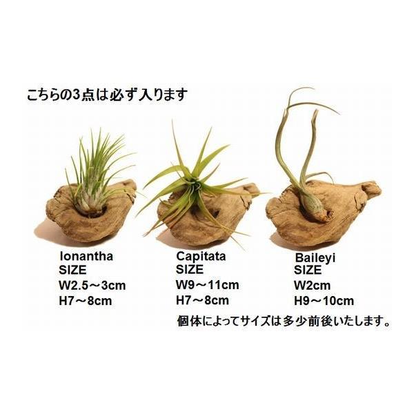 エアプランツ セット すぐに飾れる 5種類 流木付き ギフト オリジナル エアープランツ L 5点セット|zakkamag|02