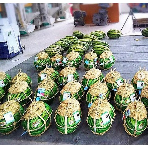 入善ジャンボスイカ 2L(14~16キロ)  贈答用  / 果物 ギフト スイカ 西瓜 農家直送|agri-takimoto|03