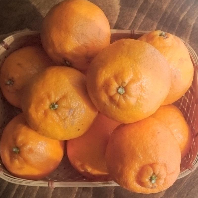 5kg長島オレンヂの有機露地栽培「天草ポンカン」5kg(4.5kg以上)|amakusaichiba|05