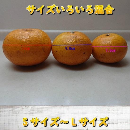 サンフルーツ(新甘夏)農薬一切不使用栽培|amakusaichiba|04