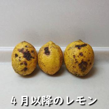 レモン 訳あり 国産 1kg入り 天草オーガニック 4月中旬以降は全国クール便配送  amakusaichiba 09