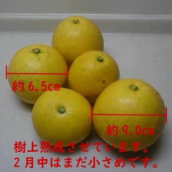 天草産「訳あり」パール柑10kg箱入り|amakusaichiba|06