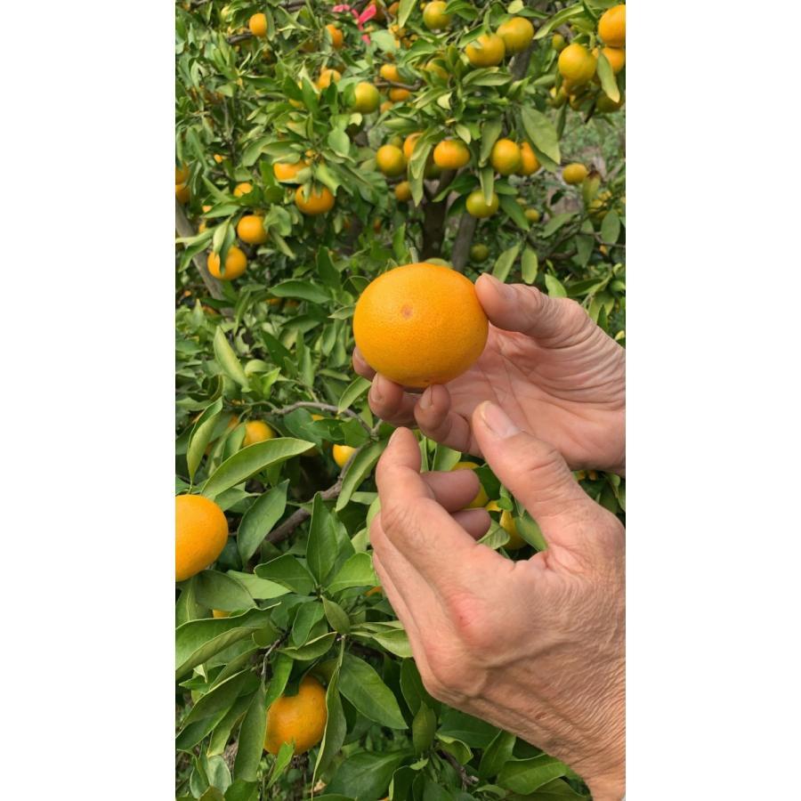 【糖度13度前後】 木場さんの堂脇みかん(S~3Sサイズ)|amami-fruit|03