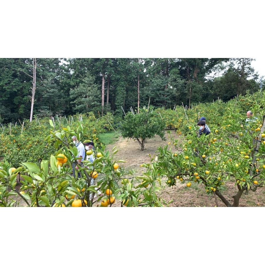 【糖度13度前後】 木場さんの堂脇みかん(S~3Sサイズ)|amami-fruit|04