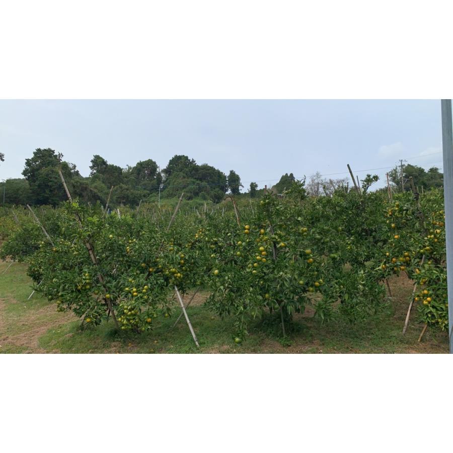 【糖度13度前後】 木場さんの堂脇みかん(S~3Sサイズ)|amami-fruit|05