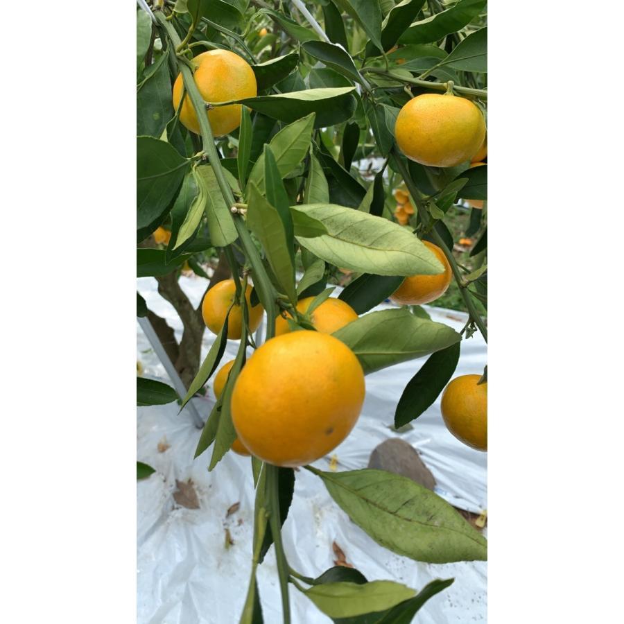 【糖度13度前後】 木場さんの堂脇みかん(S~3Sサイズ)|amami-fruit|08