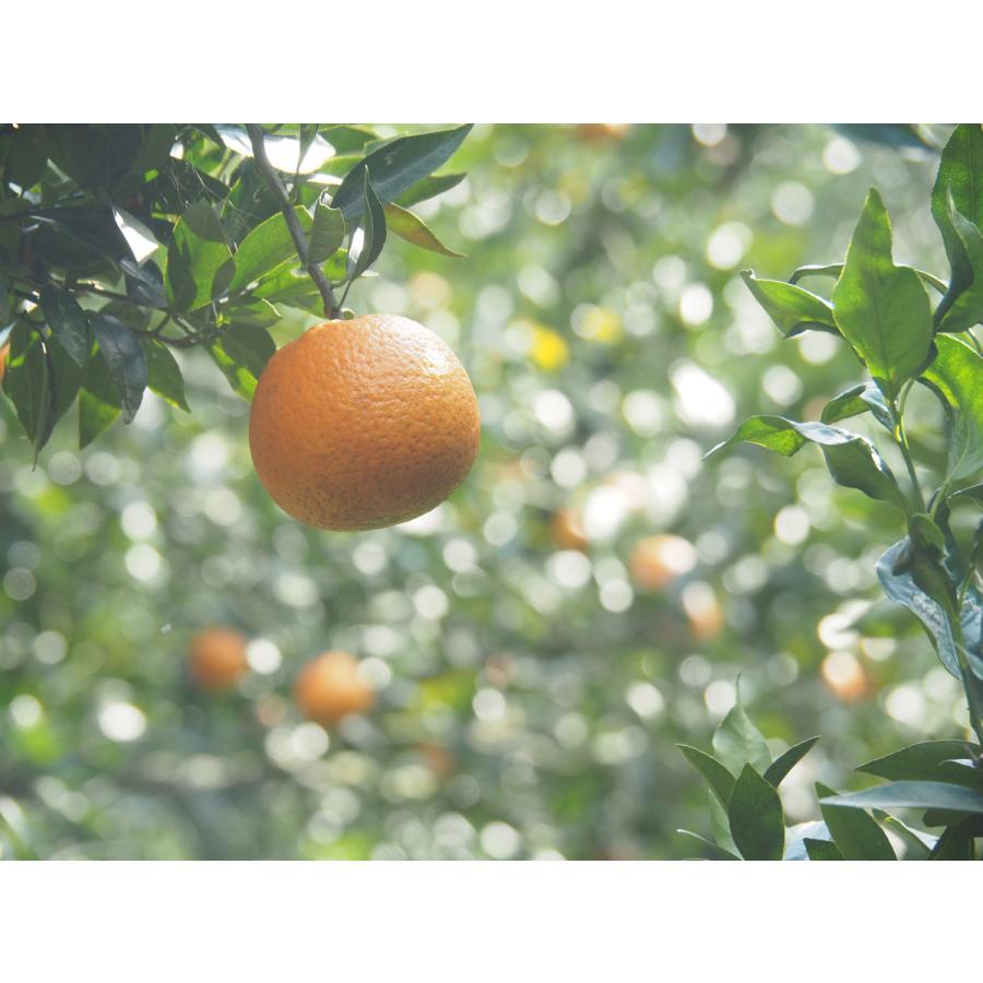 【糖度13度前後】奄美完熟たんかん(大玉:2L〜3Lサイズ) 5kg箱詰|amami-fruit|07