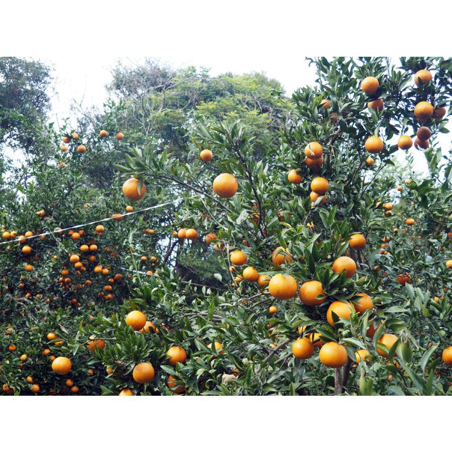 【お買い得】奄美完熟たんかんアウトレット(中玉:M〜Lサイズ) 5kg箱詰 amami-fruit 02