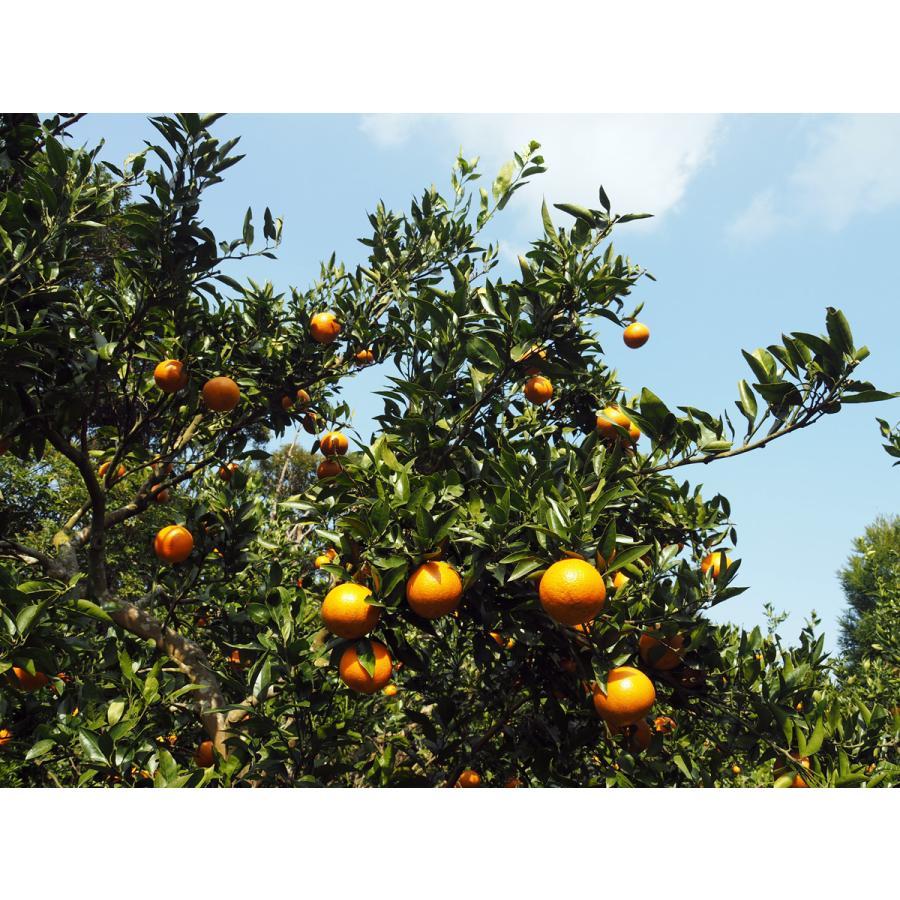 【お買い得】奄美完熟たんかんアウトレット(中玉:M〜Lサイズ) 5kg箱詰 amami-fruit 03