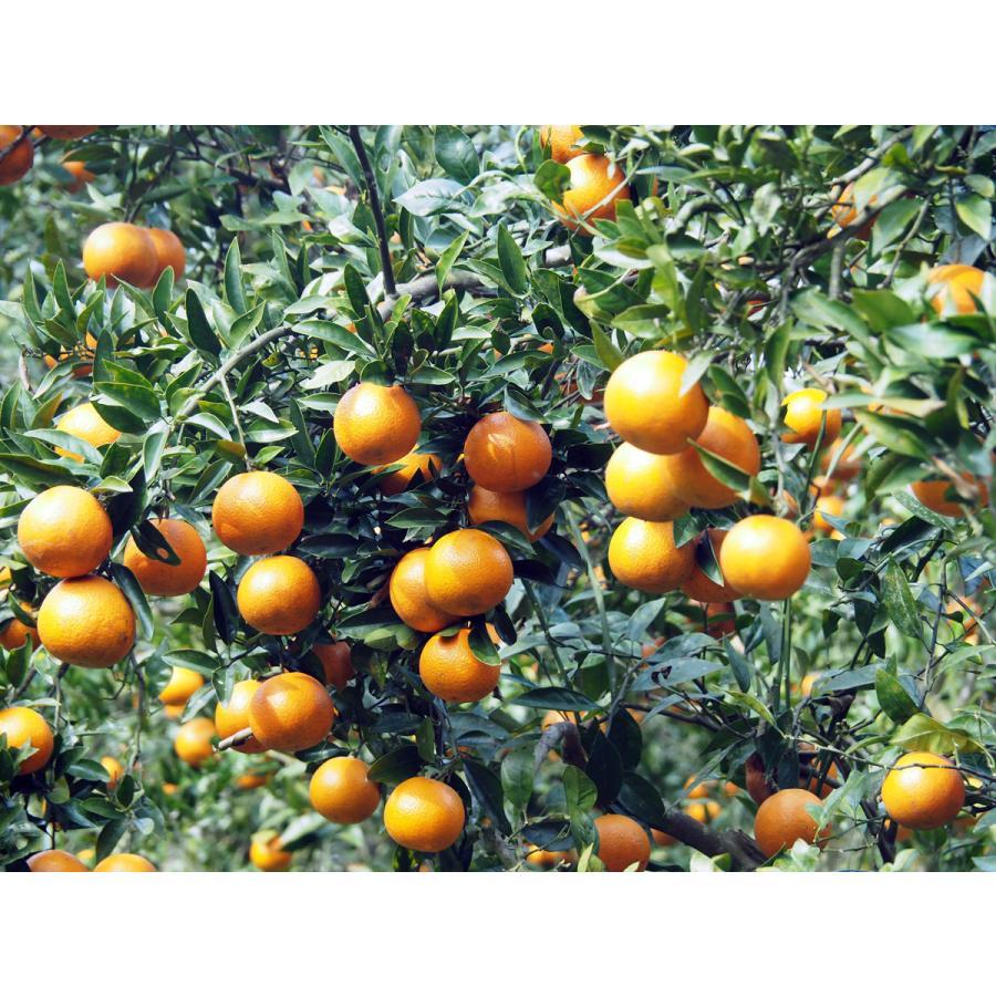 【お買い得】奄美完熟たんかんアウトレット(中玉:M〜Lサイズ) 5kg箱詰 amami-fruit 09