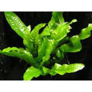 水草 ミクロソリウム プテロプス (ポット)|antonio