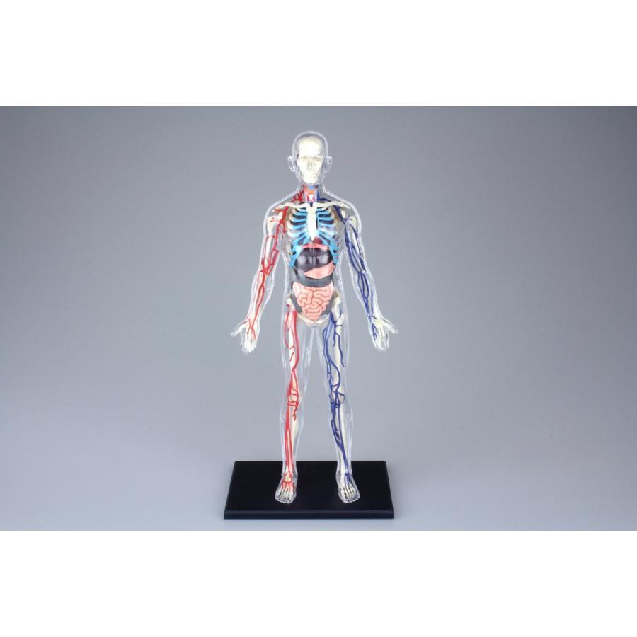 全身 解剖スケルトンモデル 4D VISION 人体解剖モデル No.20 #立体パズル|aoshima-bk