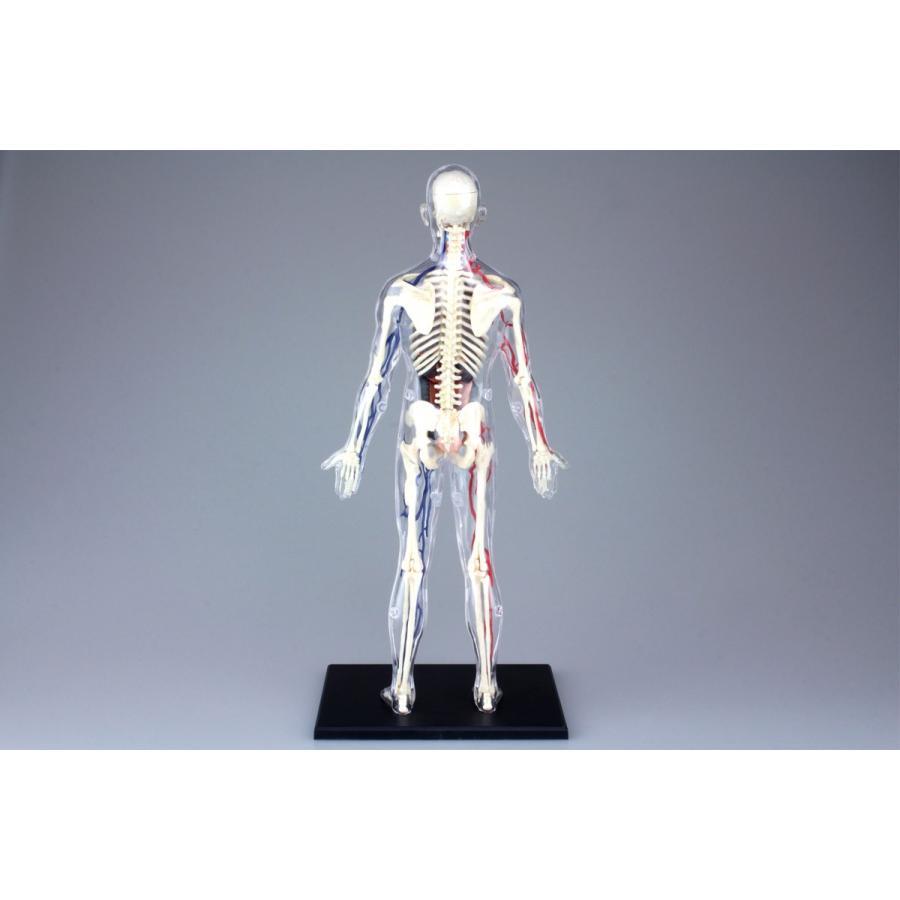 全身 解剖スケルトンモデル 4D VISION 人体解剖モデル No.20 #立体パズル|aoshima-bk|02