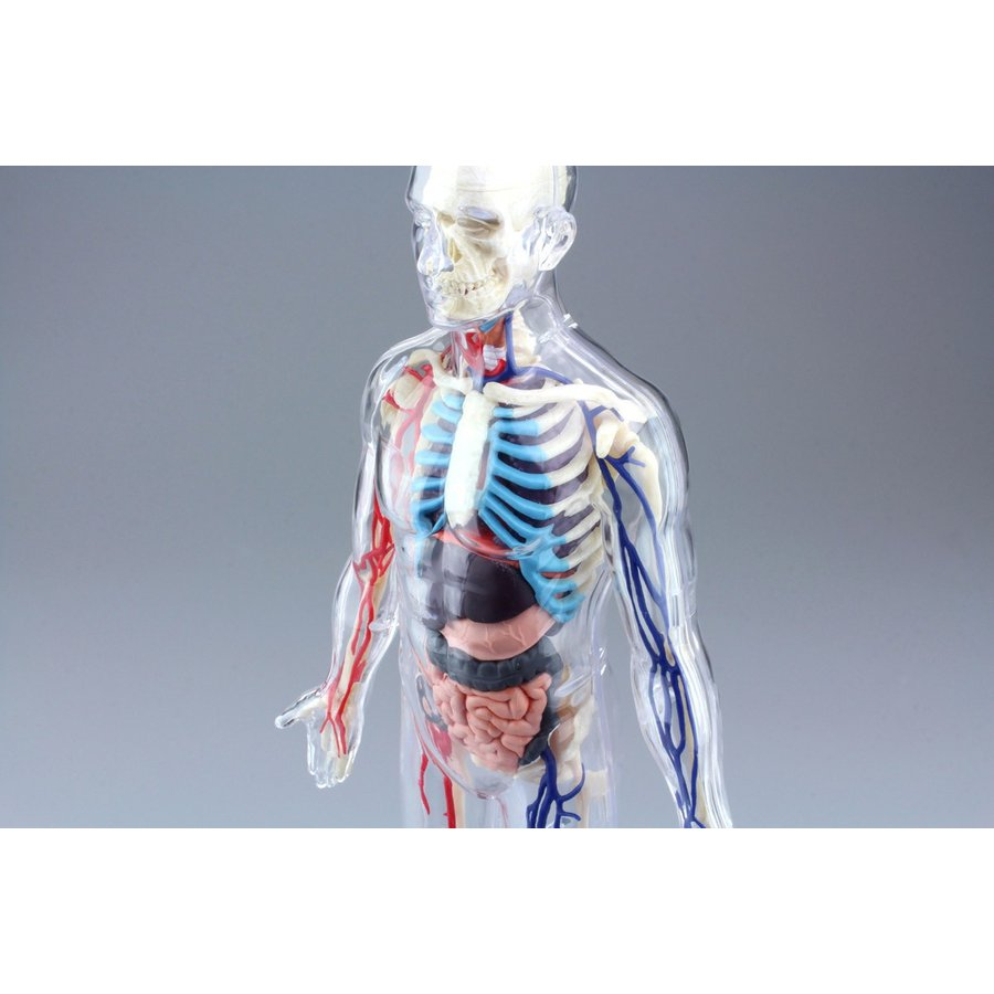 全身 解剖スケルトンモデル 4D VISION 人体解剖モデル No.20 #立体パズル|aoshima-bk|03