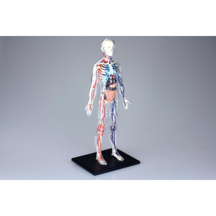 全身 解剖スケルトンモデル 4D VISION 人体解剖モデル No.20 #立体パズル|aoshima-bk|04