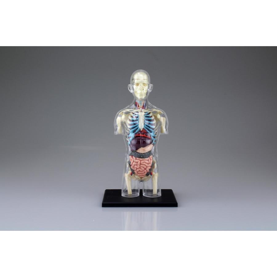胴体 解剖スケルトンモデル 4D VISION 人体解剖モデル No.14 #立体パズル|aoshima-bk