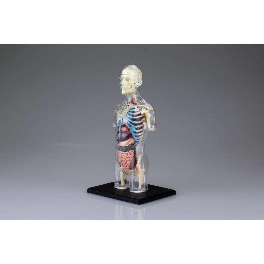 胴体 解剖スケルトンモデル 4D VISION 人体解剖モデル No.14 #立体パズル|aoshima-bk|02