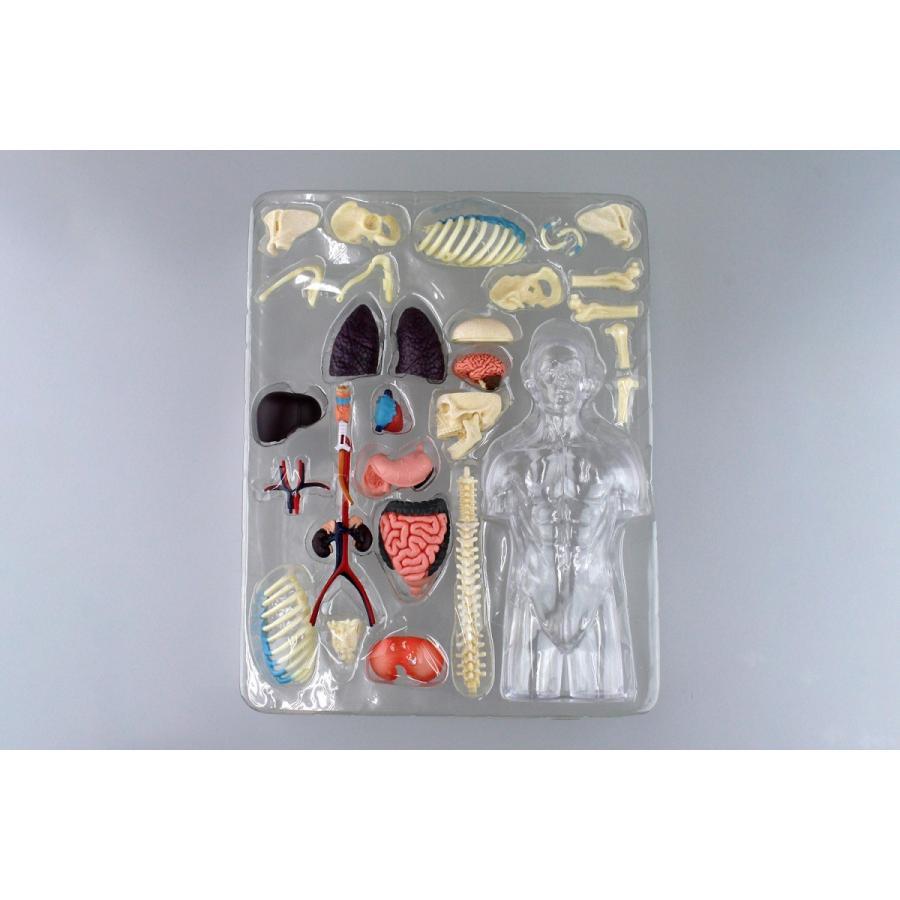 胴体 解剖スケルトンモデル 4D VISION 人体解剖モデル No.14 #立体パズル|aoshima-bk|11