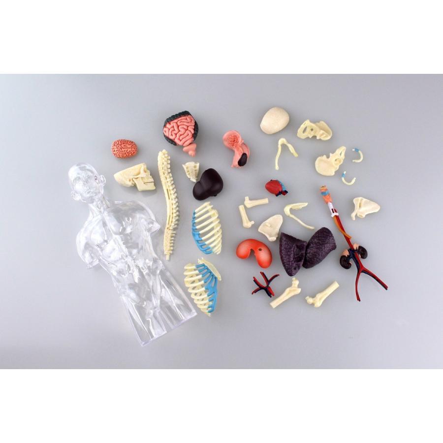 胴体 解剖スケルトンモデル 4D VISION 人体解剖モデル No.14 #立体パズル|aoshima-bk|12